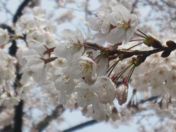 愛宕山の桜.jpg